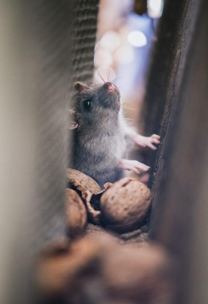 geur dode rat verwijderen